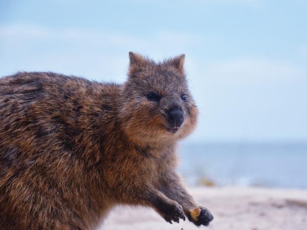 Mammal, Vertebrate, Wildlife, Marsupial, Terrestrial animal, Snout, Wombat, Rottnest Island, Quokka, Marsupials