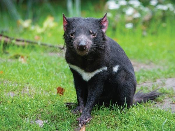 Mammal, Vertebrate, Tasmanian devil, Terrestrial animal, Marsupial, Snout, Wildlife, Tasmanian devil, Tasmanian Devil, Tasmania, Thylacine